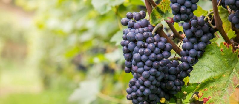 Photo for: Pinot Noir - A Red Grape Variety