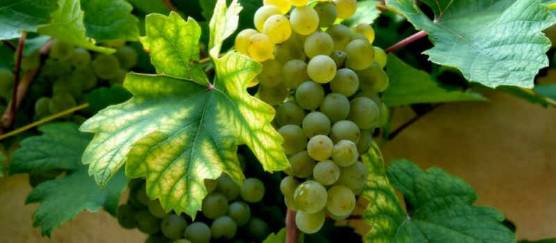 Photo for: Muscat Ottonel - A White Grape Variety